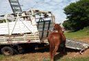 Operação do CCZ apreende animais de grande porte soltos nas vias públicas
