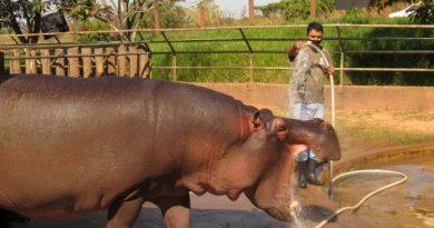 Zoológico da Cidade da Criança celebra Dia Mundial do Hipopótamo
